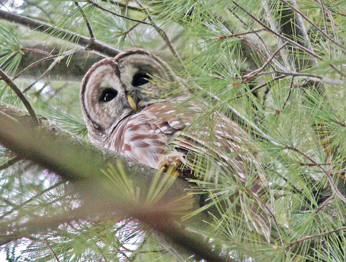 The Barred Owl: More Than Just A Haunting Voice | Columbus ...