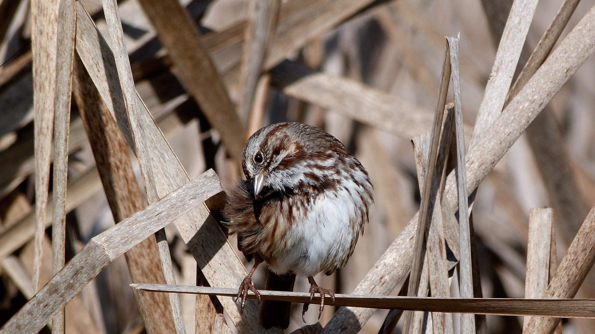 Song Sparrow - Photo Elizabeth Feucht
