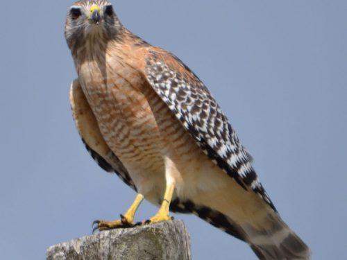 Red-shouldered Hawk on snag