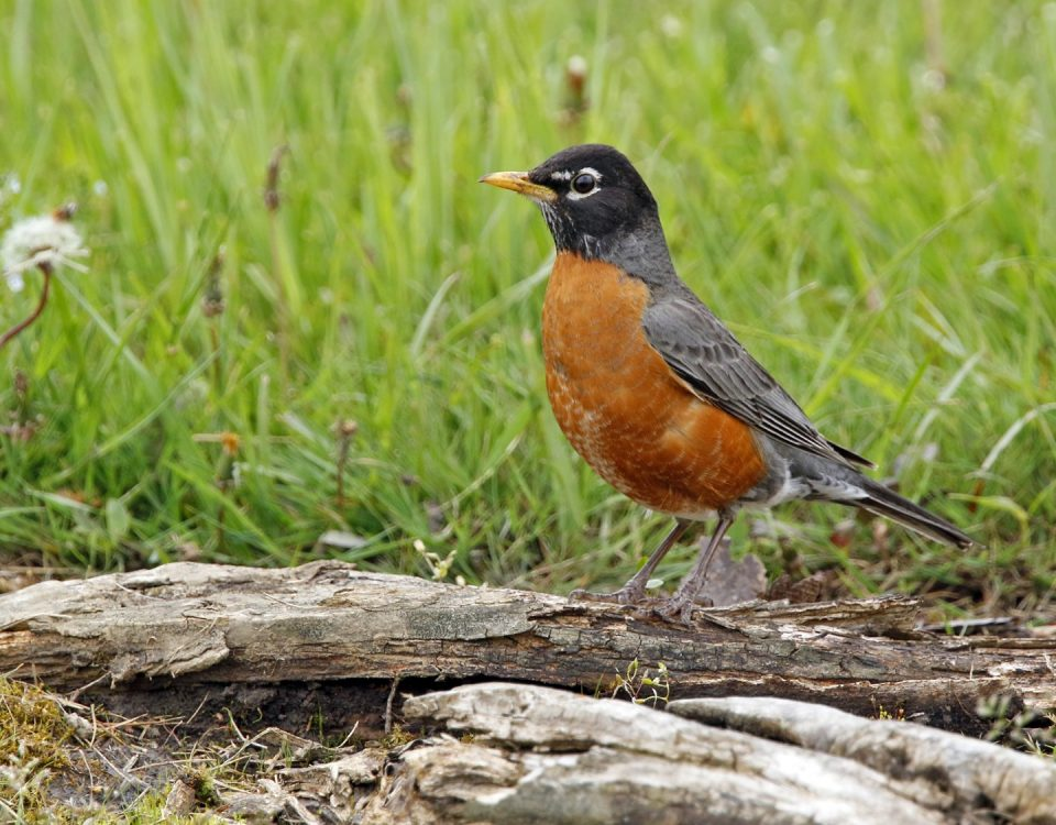 American Robin - Photo Earl Harrison