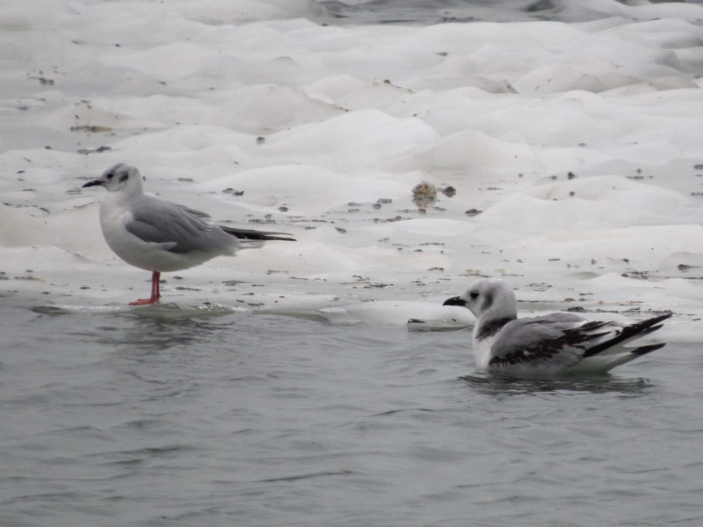 Black-legged Kittiwake with Bonaparte's Gull