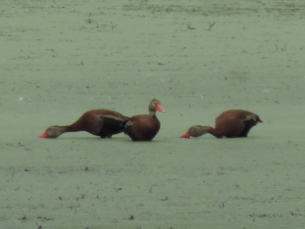 Black-bellied Whistling Ducks (Photo courtesy Robert Lane)