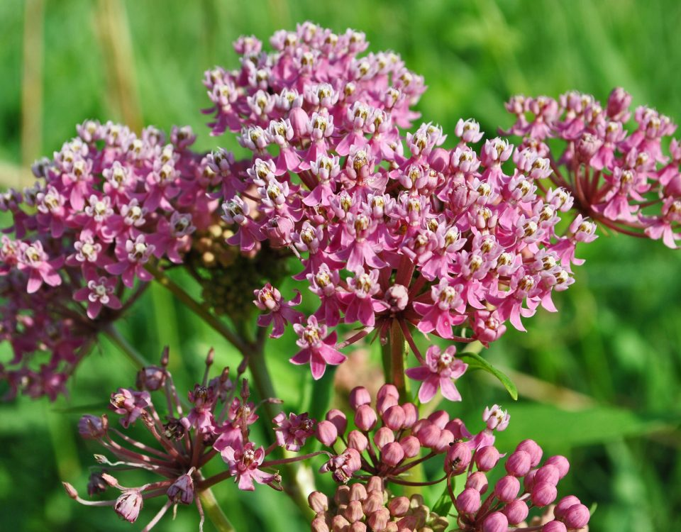Swamp Milkweed - Photo Aaron Carlson