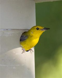 "This July 2008 photo by Mike Maier shows that a Prothonotary Warbler in a 1-1/4"" entrance could easily negotiate a smaller 1-1/8"" opening."