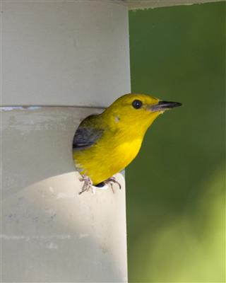 Prothonotary Warbler in Nest Box