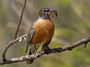 American Robin with Earthworms - Photo Earl Harrison