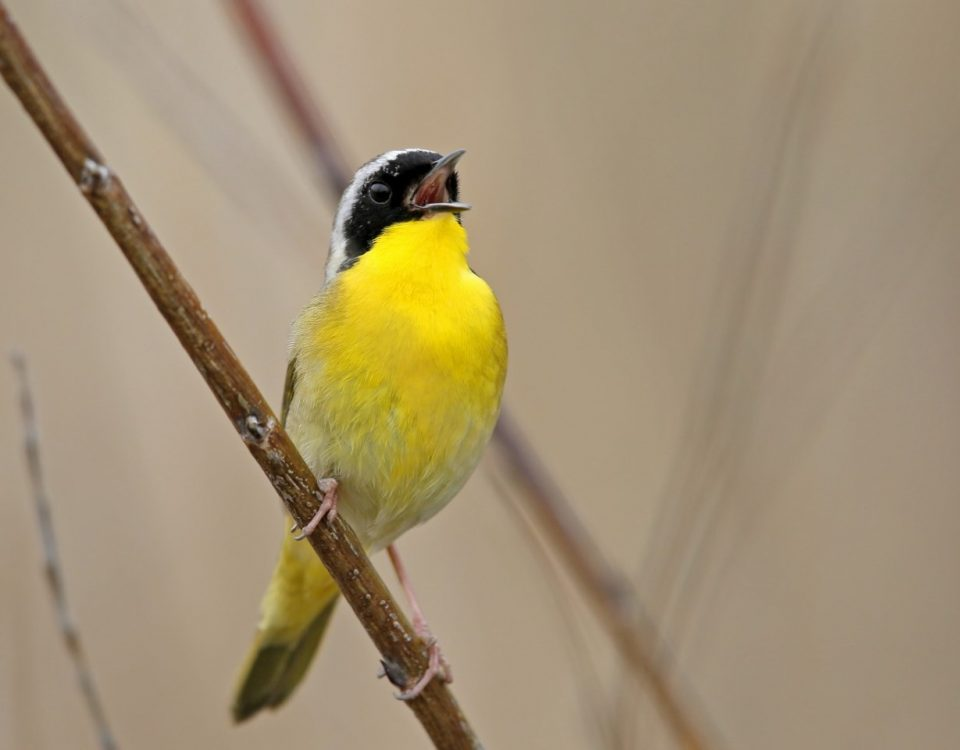 Common Yellowthroat Singing - Photo Earl Harrison