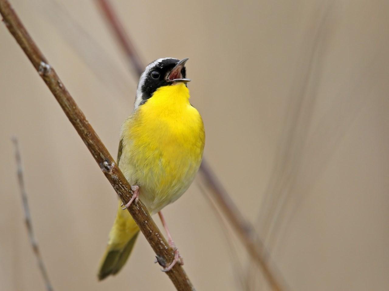 Common Yellowthroat Singing - Photo Earl Harrison