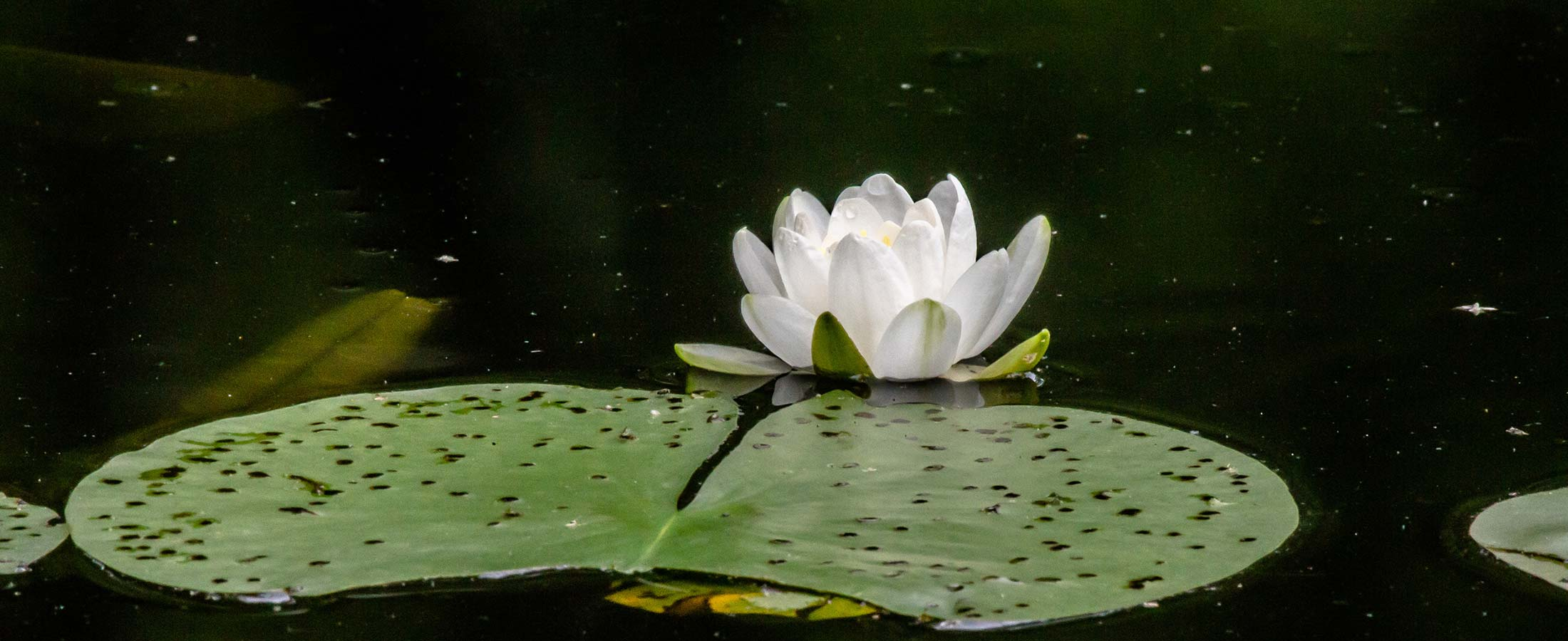 Waterlily - Photo Jace Delgado