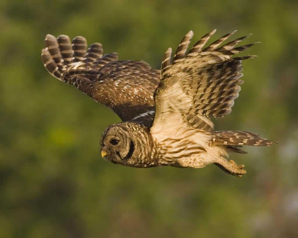 Barred Owl - Photo Arthur Morris