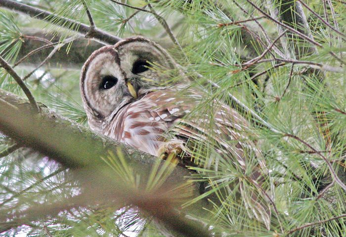 Barred Owl - Photo Earl Harrison