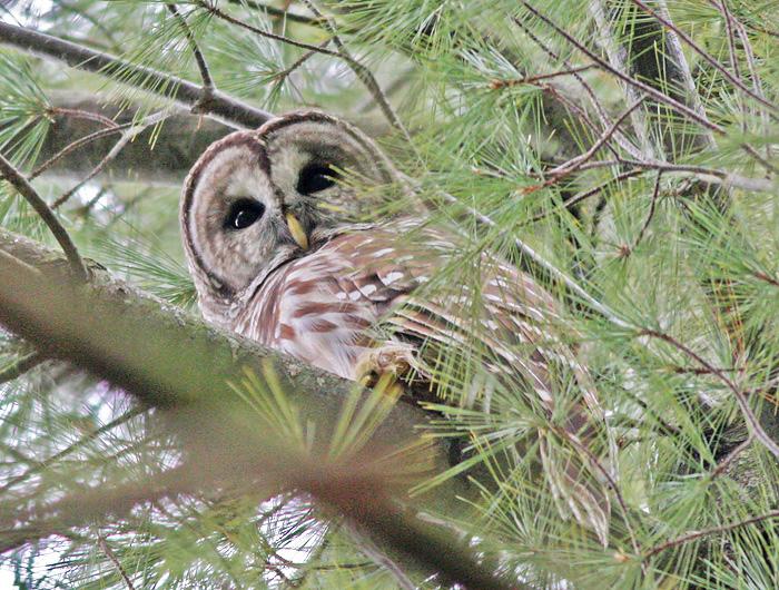 Barred Owl - Photo Earl Harrison