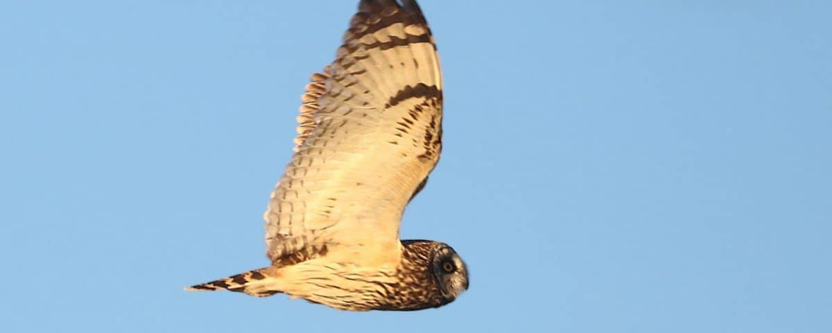 Short-eared Owl - Photo Alan Schmierer