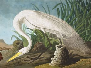 John James Audubon Plate 386 White Heron (Great Egret)