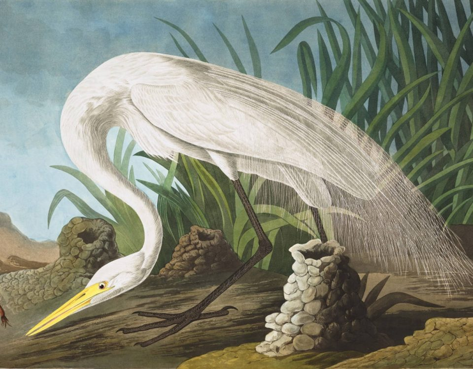 John James Audubon Plate 386 White Heron (Great Egret)