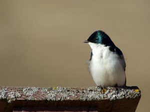 Tree Swallow in Profile - Photo Earl Harrison