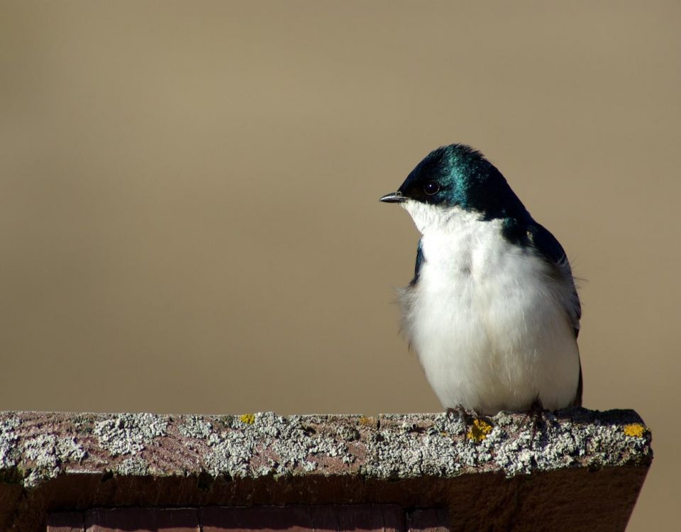 Tree Swallow in Profile