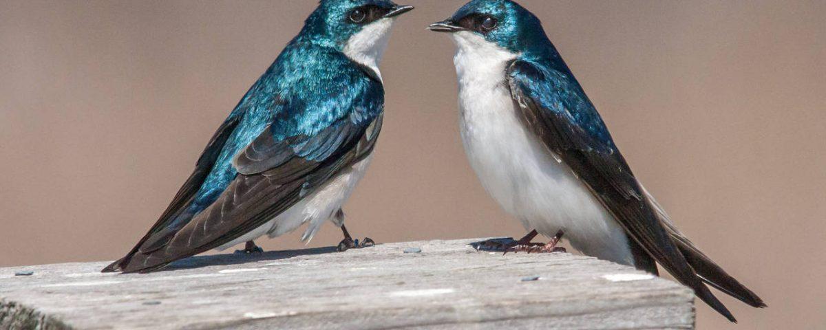 Tree Swallows - Photo Kevin Vance