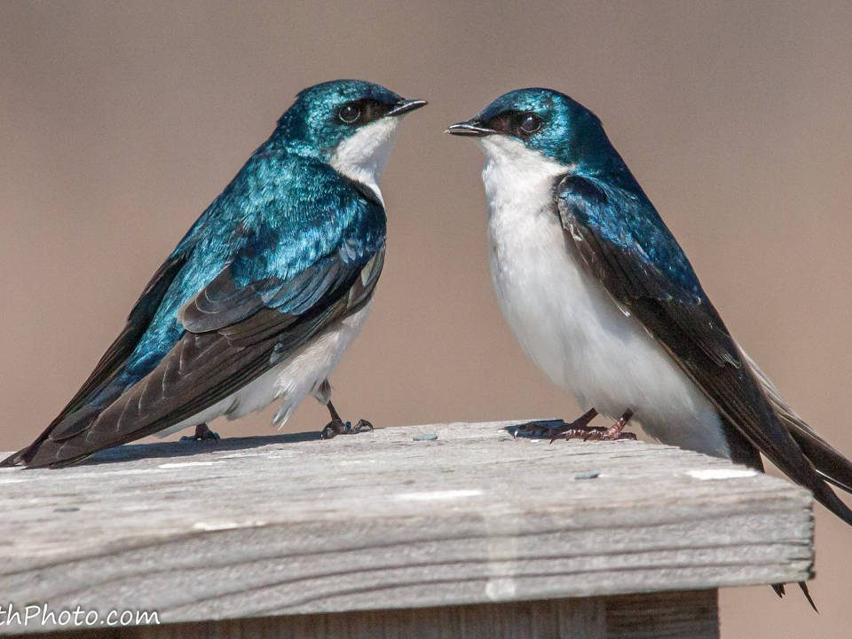 Tree Swallows - Photo Kevin Vance