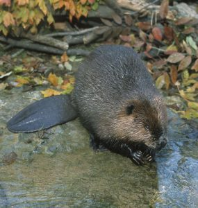Beaver - Photo Tim Daniel
