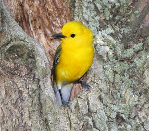 Prothonotary Warbler - Photo Earl Harrison