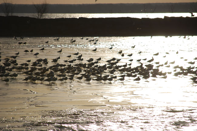 Just a few of the thousands of gulls seen by the Avid Birders at Huron