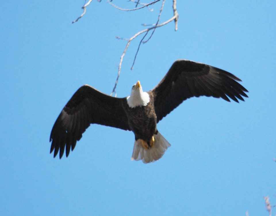 A Bald Eagle cruises over the Avid Birders at Magee Marsh
