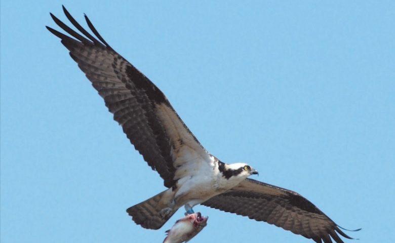 Osprey - Photo Tim Daniel