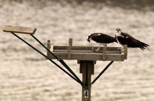 Ospreys on Platform at Alum Creek - Dick Tuttle