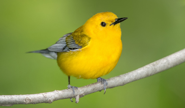 Prothonotary Warbler - Photo Steven Kersting