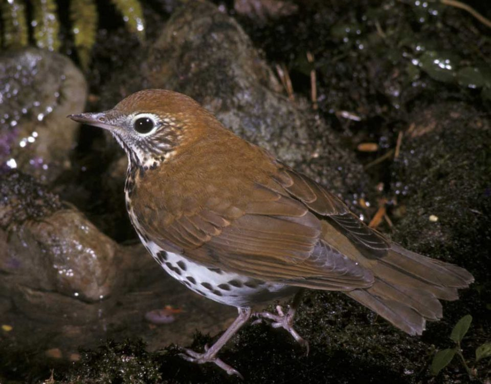 Wood Thrush - Photo Lee Trott