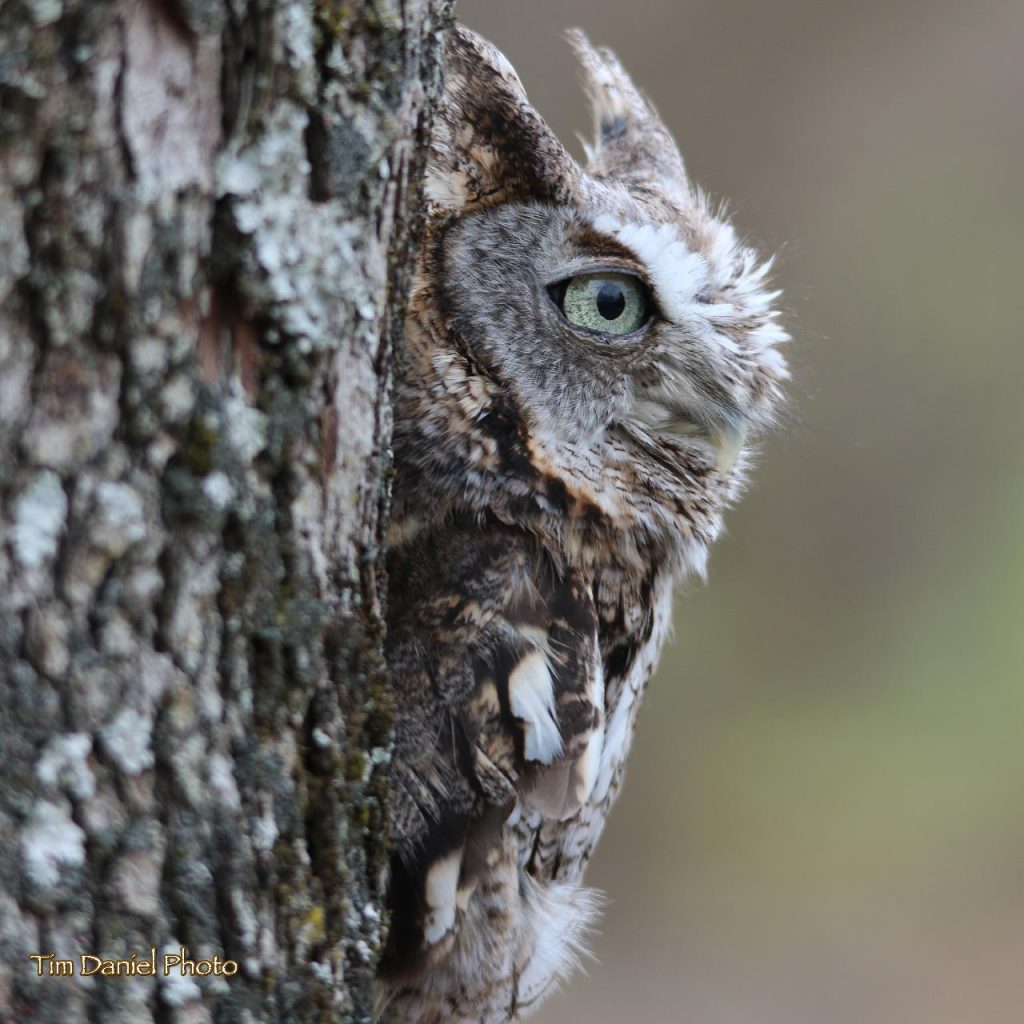Eastern Screech Owl: Gray phase showing cryptic coloration against tree bark - Photo Tim Daneil