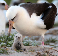 Wisdom, the 64-year old Laysan Albatross, with her chick.