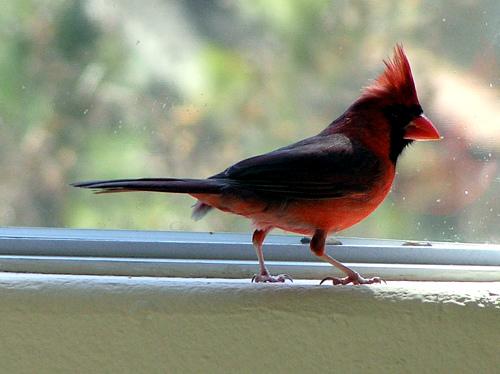 Cardinal in window