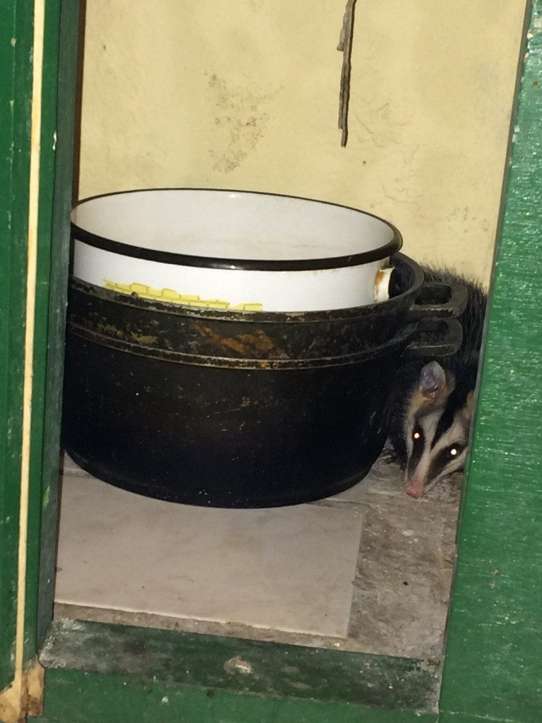 Andean White-eared Opossum looking for a midnight snack: Milpe, Ecuador
