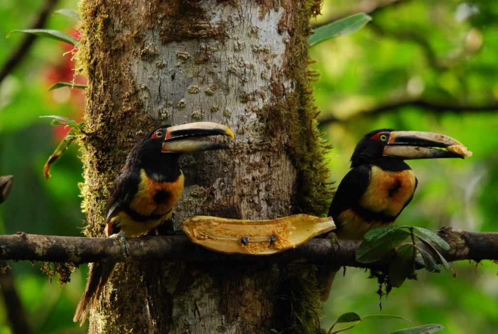 Pale-mandibled Aracaris at the banana feeder, Milpe, Ecuador