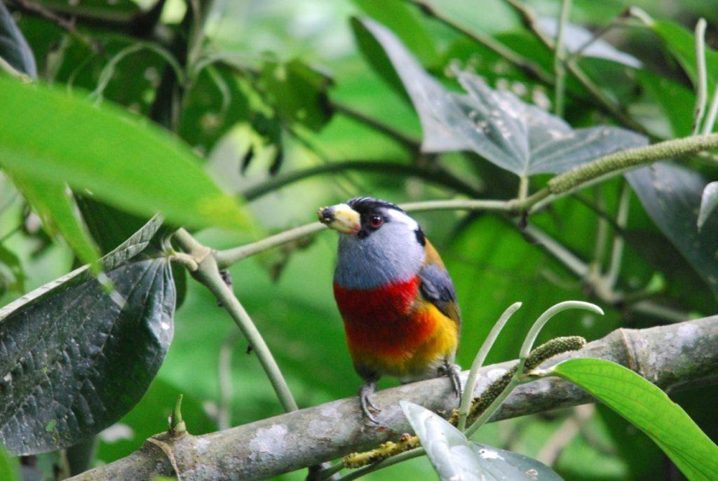 Toucan Barbet at Tandayapa