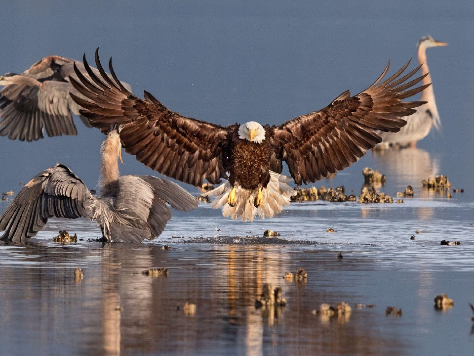 2016 Audubon Photo Award: Bonnie Block - Bald Eagle Great Blue Heron