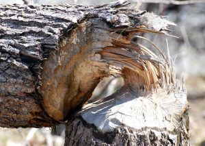 Beaver evidence: a downed tree showing characteristic beaver tooth marks - Photo Rona Proudfoot