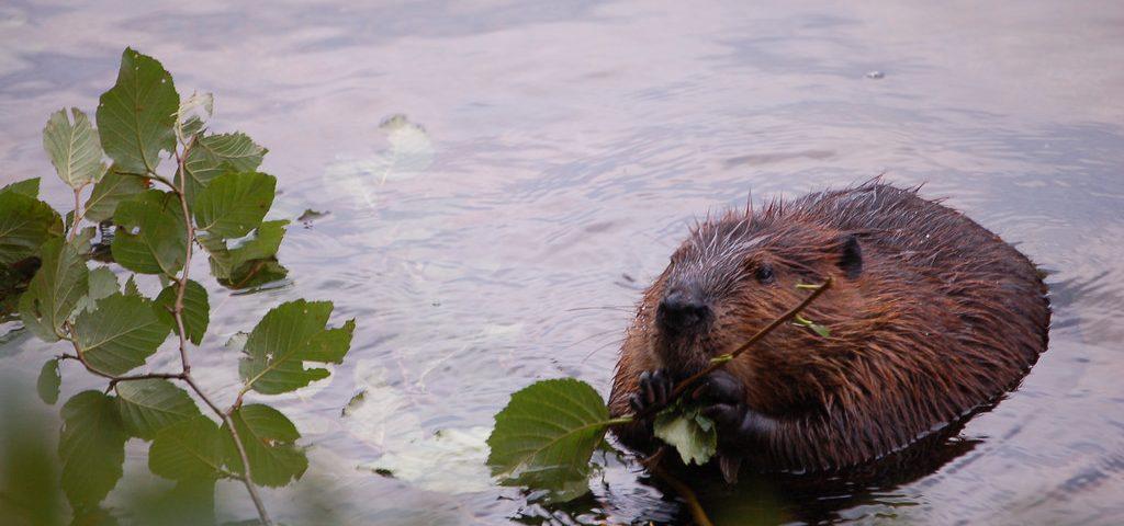Beaver feeding on plant materials - Photo Lindsey Krause