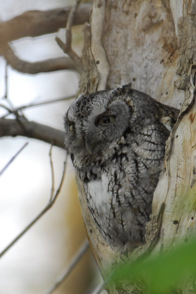 Eastern Screech Owl: Gray Phase - Photo Tom Sheley