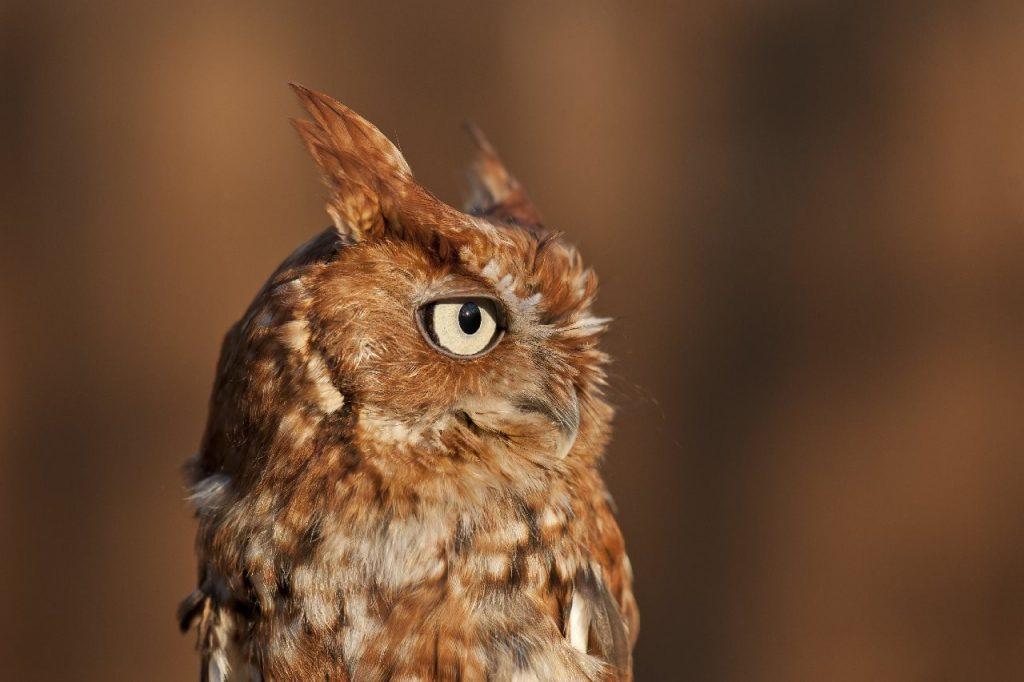 Eastern Screech Owl: Red Phase - Photo Tom Sheley