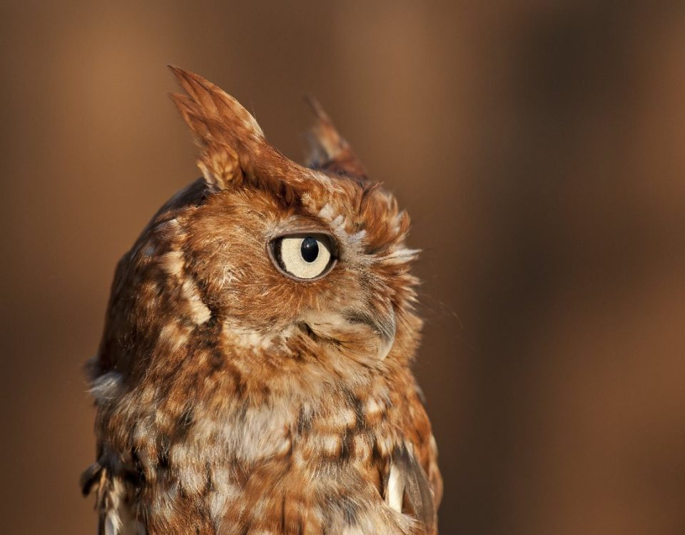 Eastern Screech Owl: Red Phase - Photo Tom Sheley