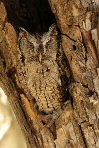 Eastern Screech Owl in Cavity - Photo Tom Sheley