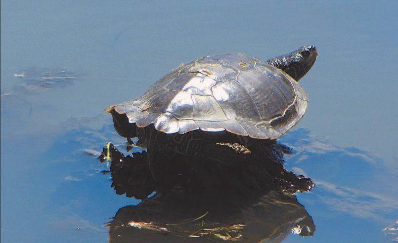 Common (Northern) Map Turtle - Photo D. Gordon/E. Robertson
