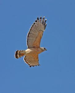 Red-shouldered Hawk In Flight - Photo Earl Harrison