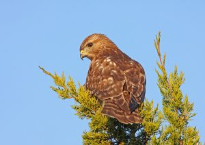 Red-shouldered Hawk perched in coniferous tree - Photo Earl Harrison