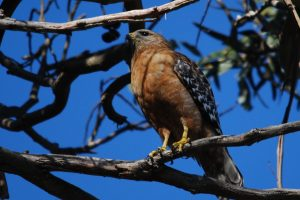 Red-shouldered Hawk perched in the sun - Photo David Slater