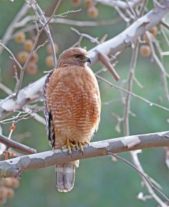 Red-shouldered Hawk perched on branch - Photo Earl Harrison