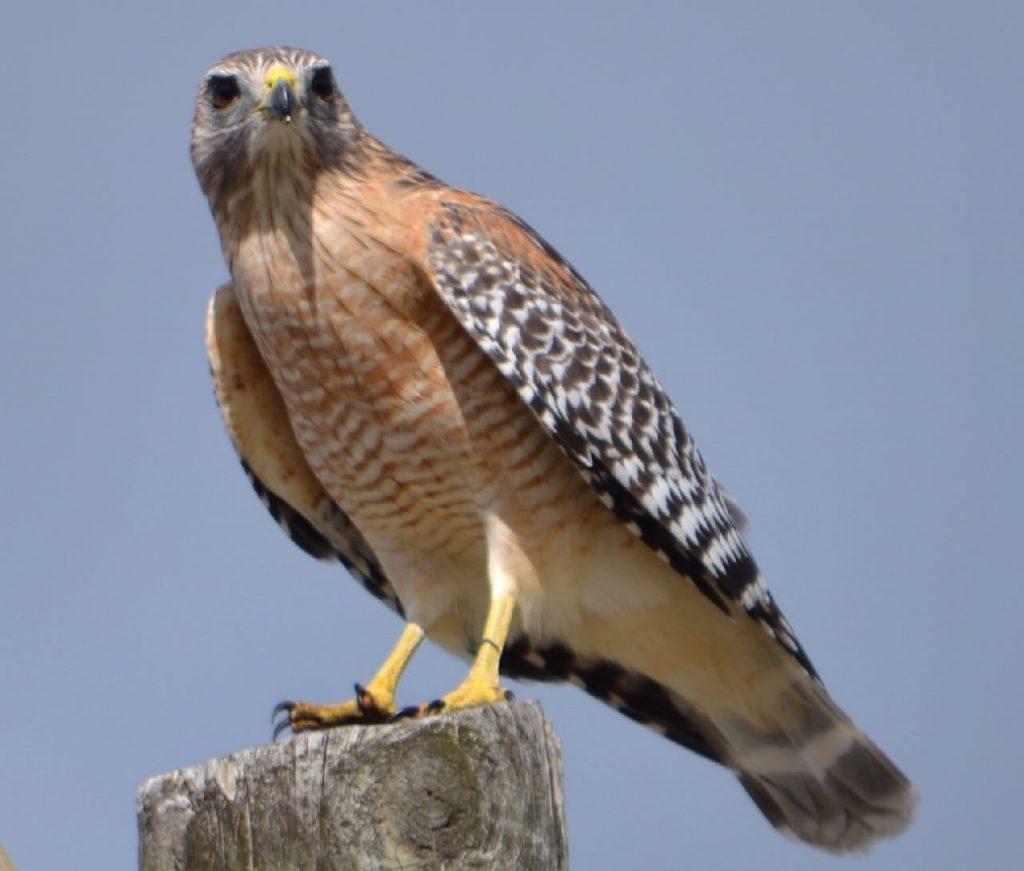 Red-shouldered Hawk on snag